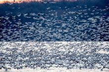 Flock of birds migrating