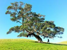 Tree on hillside offering shade